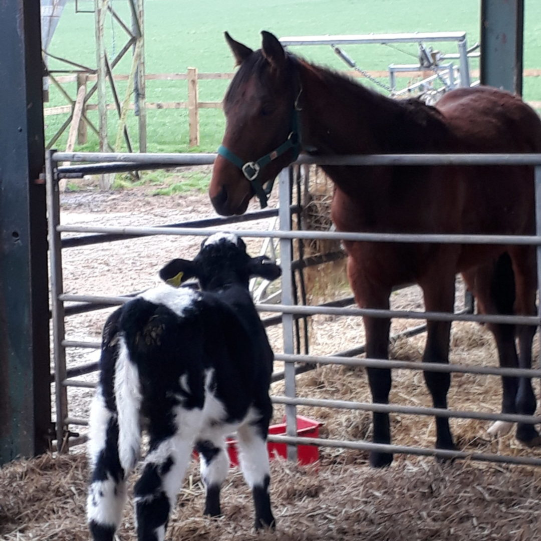 Horse and calf