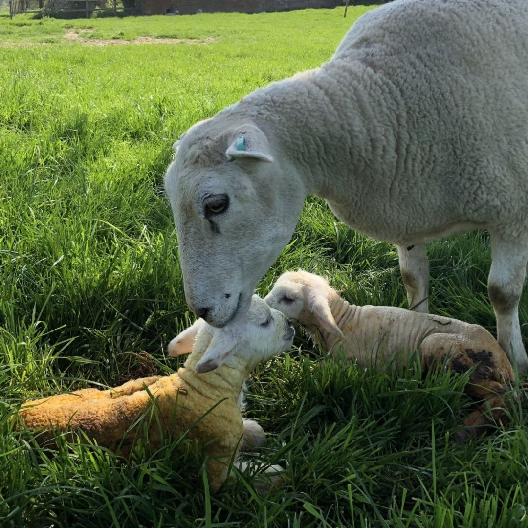 Michelmersh Manor Farm ewe and lamb new